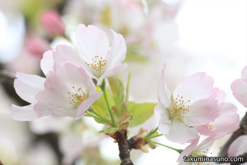 Sakura Blossoms of Kokeshimizu at Mitsuike Park