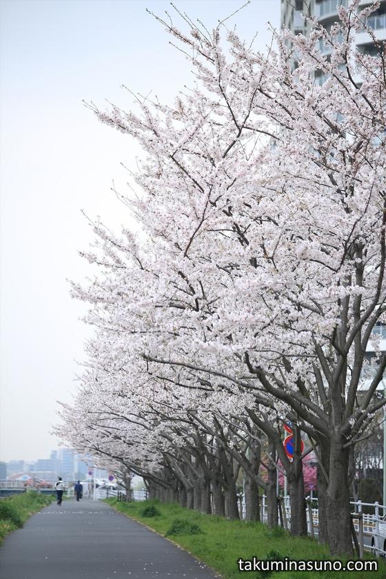 Sakura Street Near Gas Bridge of Tama River