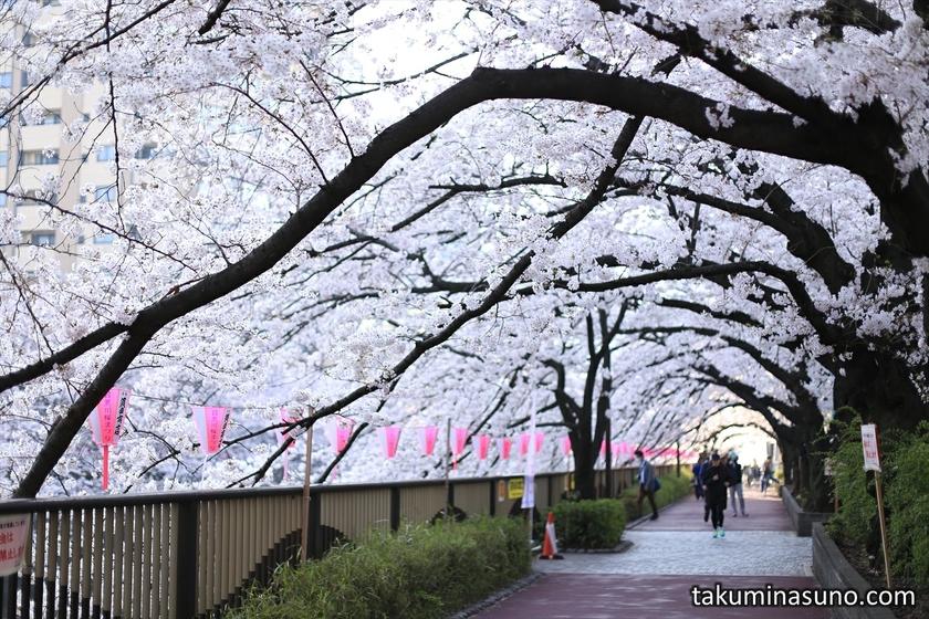 Sakura Street along Megro River