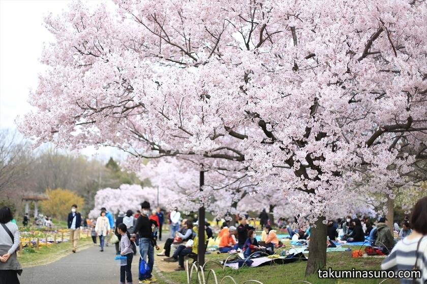 Sakura Street of Roka Koushun-en Park
