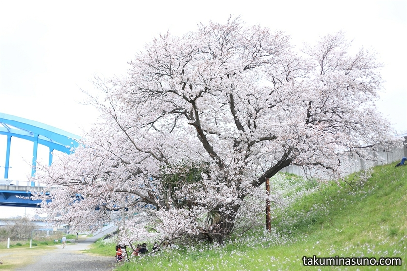 Sakura Tree near Marukobashi Bridge
