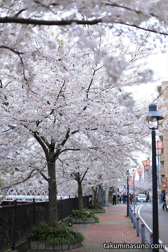 Sakura Trees along Ooka River of Yokohama