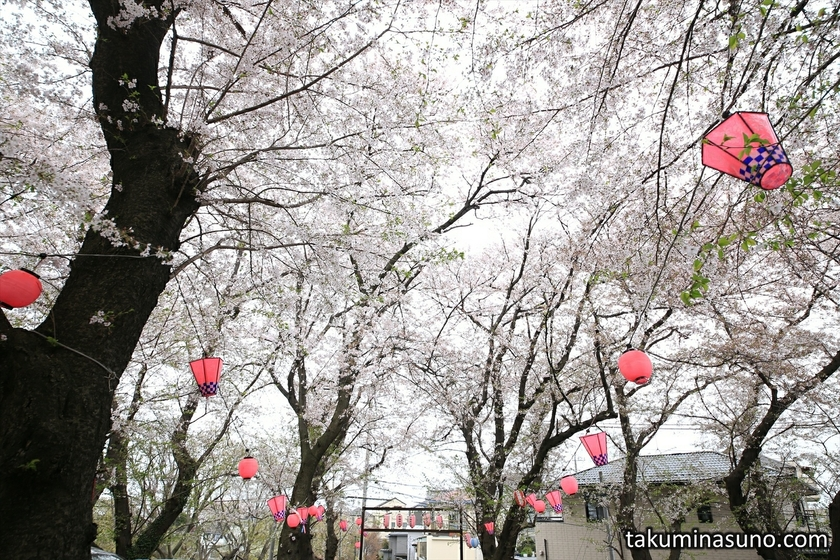 Sakura Trees of Shirahata Shrine of Tsurumi Town