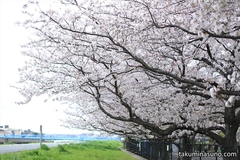 Sakura Report 2015 - Lovely Sakura Blossoms at My Hometown Tsurumi River