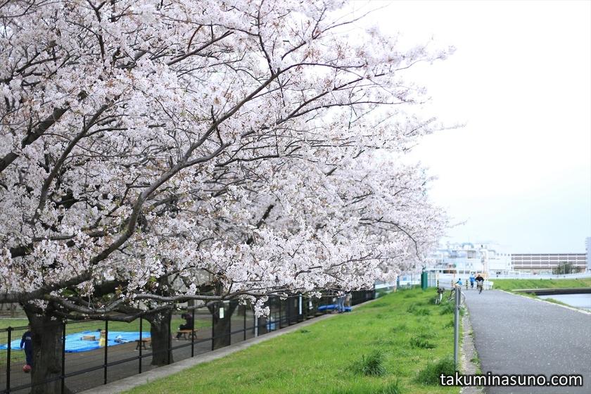 Sakura along Tsurumi River from the Opposite Side