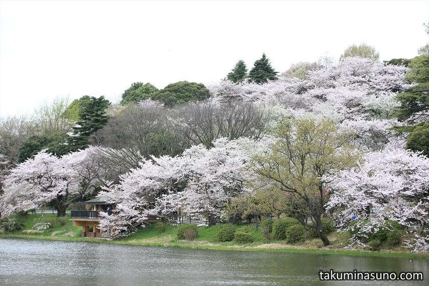 Sakura and Hill at Mitsuike Park