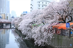 Sakura Report 2015 - Sakura Festival at Ooka River of Yokohama