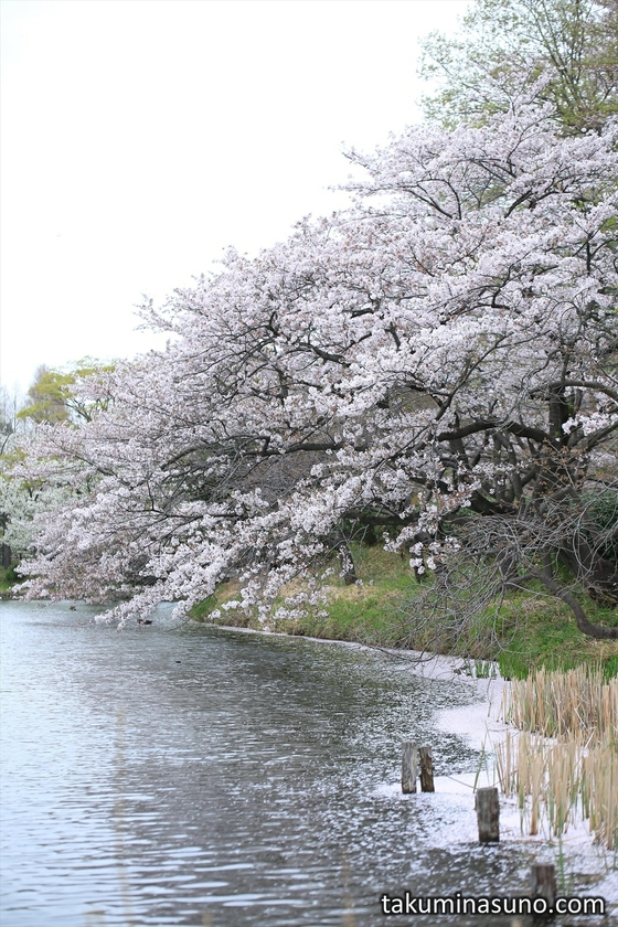 Sakura over Pond at Mitsuike Park