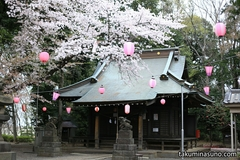 Sakura Report 2015 - Roof of Sakura Blossoms Spread Over Shirahata Shrine of Tsurumi