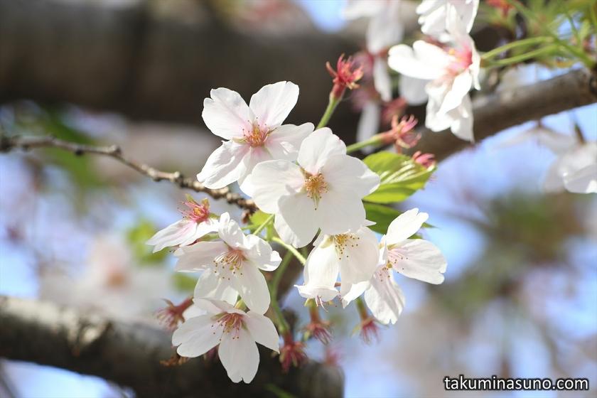 Someiyoshino at Honmachi Sakura Park