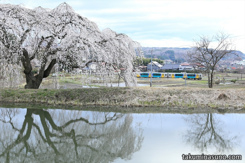 Train and Weeping Sakura Tree of Hanazono at Tanagura Town