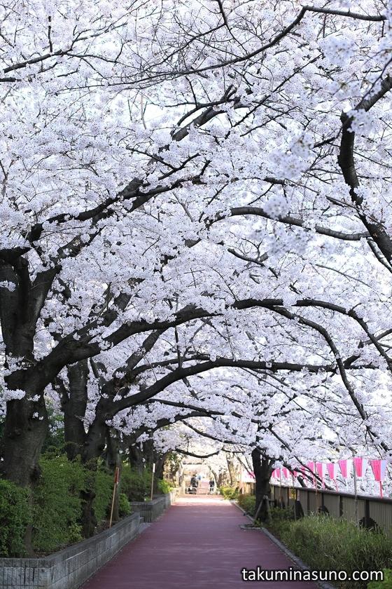 Tunnel of Sakura Blossoms along Megro River