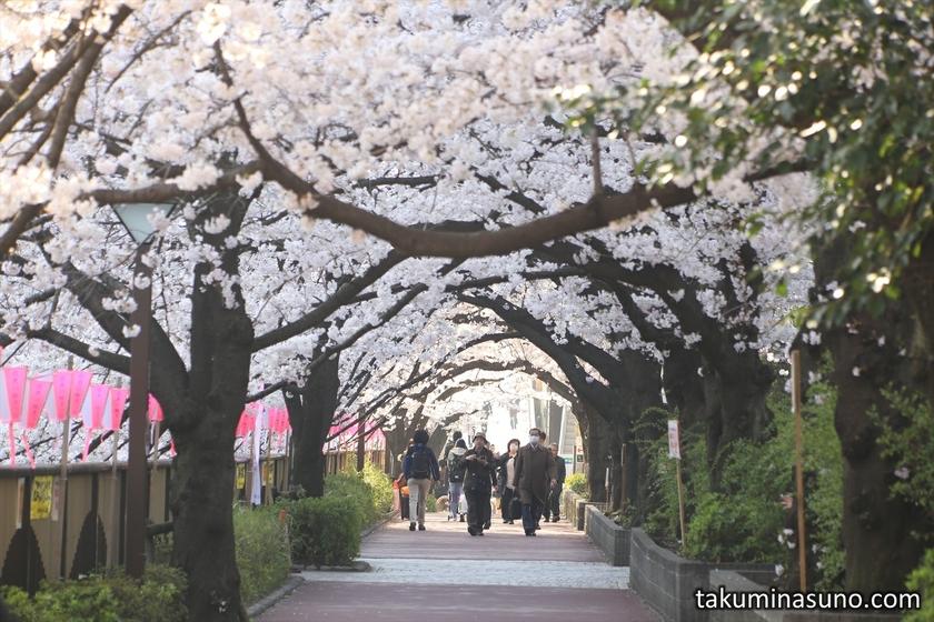 Tunnel of Sakura Blossoms in the Sunlight along Megro River