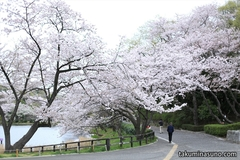 Sakura Report 2015 - Mitsuike Park, A Treasure Box of Rare Sakura Blossoms