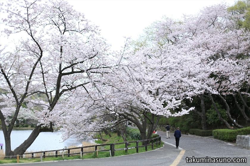 View of Sakura at Mitsuike Park