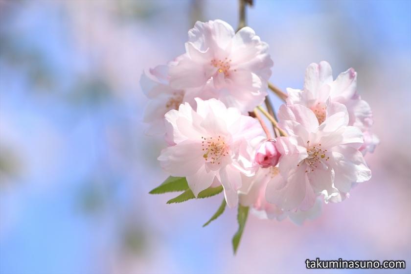 Weeping Sakura Blossoms at Honmachi Sakura Park