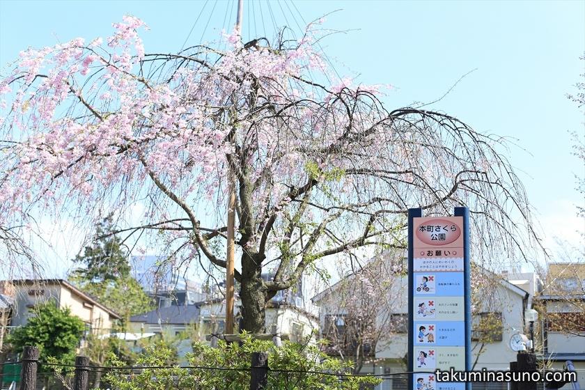 Weeping Sakura Tree at Honmachi Sakura Park