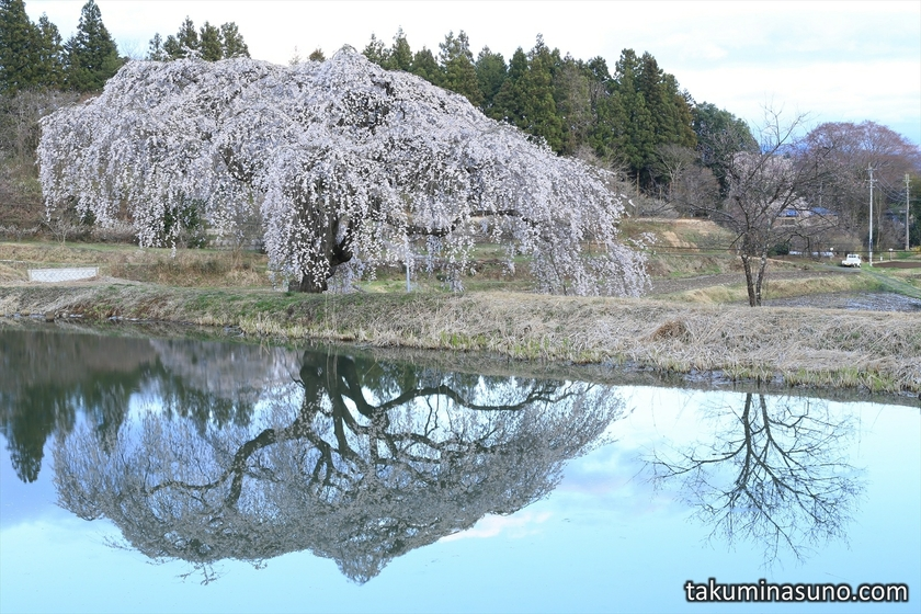 Weeping Sakura Tree of Hanazono at Tanagura Town
