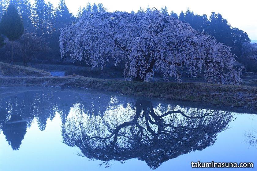 Weeping Sakura Tree of Hanazono at Tanagura Town before Dawn