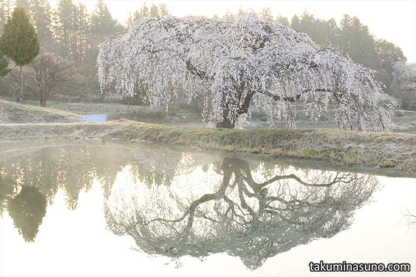 Weeping Sakura Tree of Hanazono at Tanagura Town in the Sunrise Time