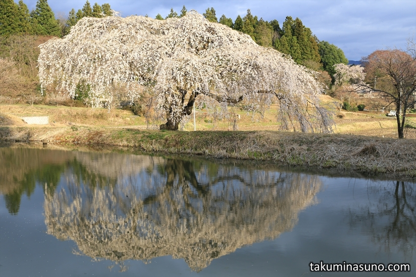 Weeping Sakura Tree of Hanazono at Tanagura Town in the Sunset Time