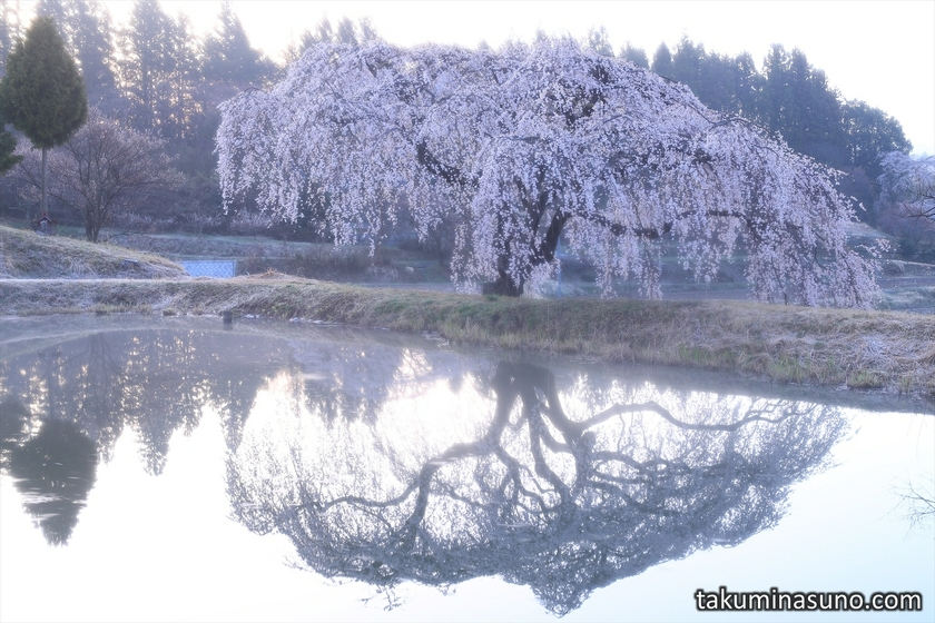 Weeping Sakura Tree of Hanazono at Tanagura Town with Mist