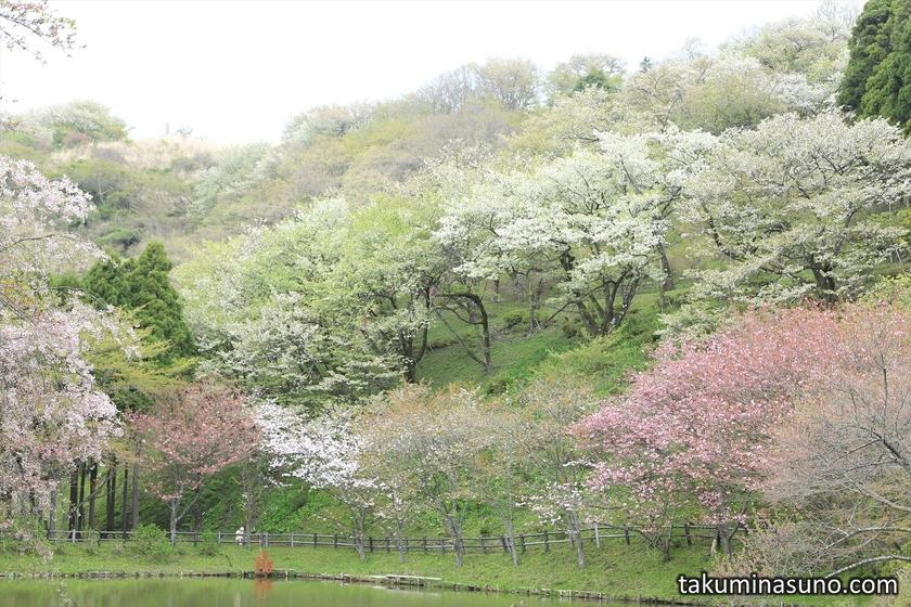 Colorful Blossoms over Pond at Saimyoji Temple Historic Park