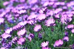 デモルフォセカの鮮やかな紫色が目に入ったので、思わずカメラを構えてしまい・・・
