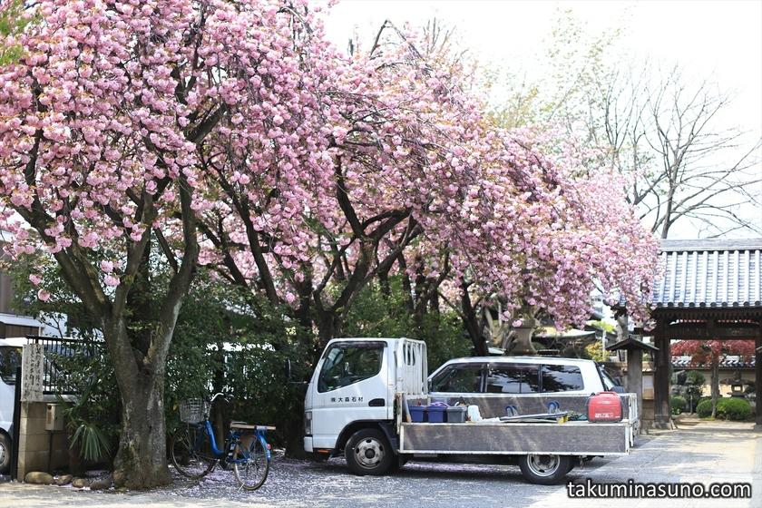 Double Sakura Blossoms at Hatagaya Fudouson Temple