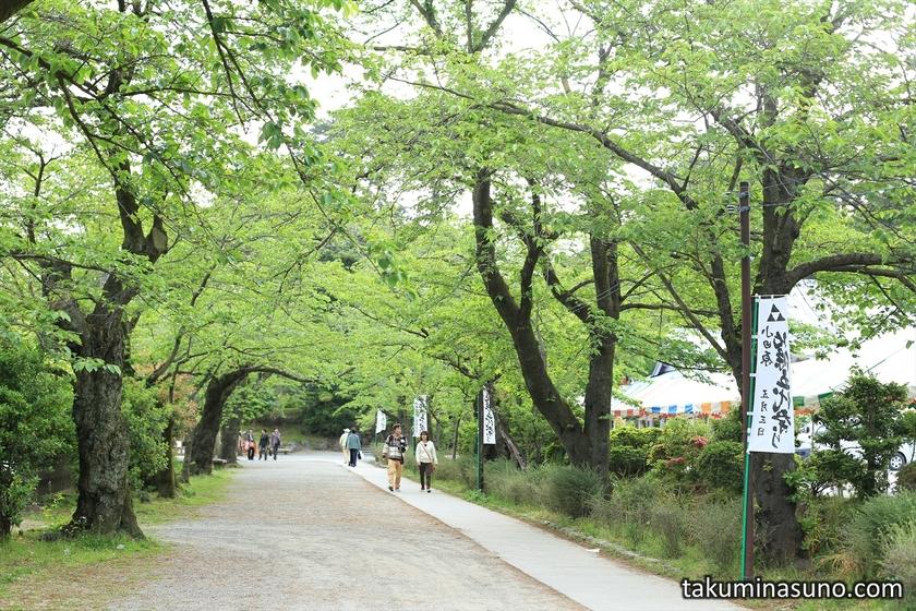Fresh Green of Sakura Tree at Odawara Castle