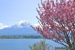 富士山と桜。これが日本だ!
