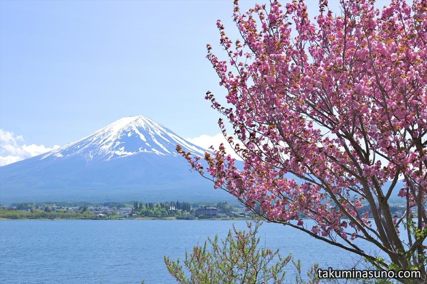 Mt Fuji and Sakura from Lake Kawaguchi