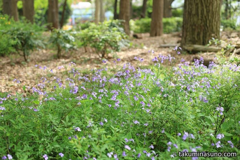 Purple Japanese Wild Radish at Shinjuku Central Park