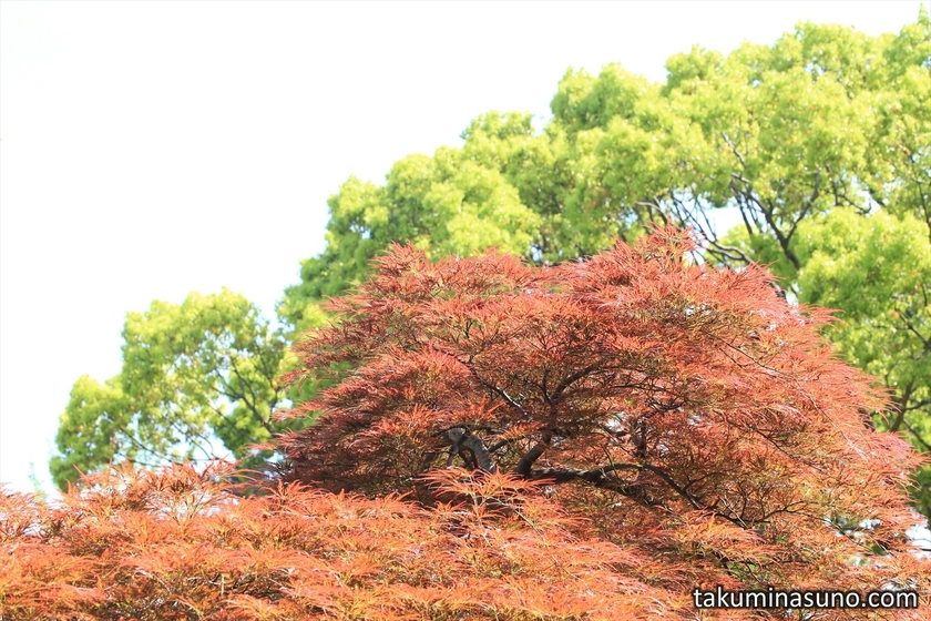 Red and Green Leaves at Sojiji Temple