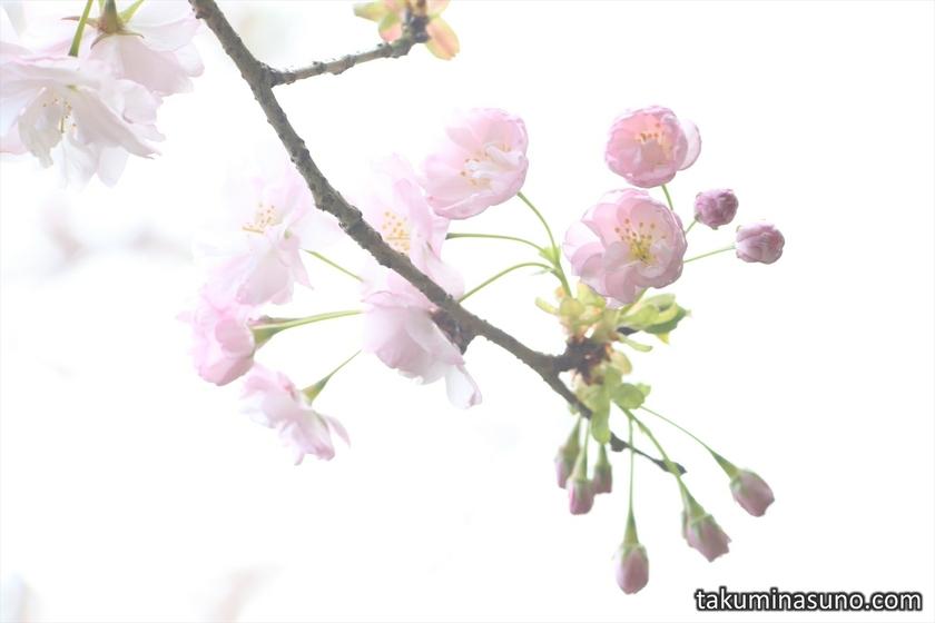 Sakura Blossoms at Saimyoji Temple Historic Park