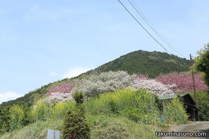 Sakura Trees on the Way to Saimyoji Temple Historic Park
