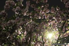 暗闇に浮かぶ八重桜