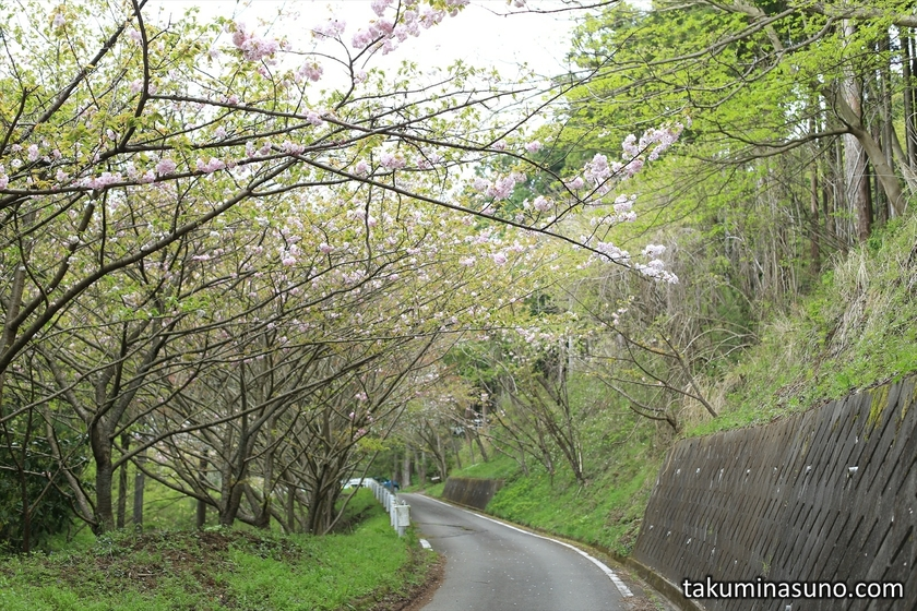 Some Sakura Trees to Saimyoji Temple Historic Park