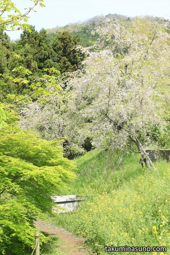 Weeping Sakura Blossoms Falling
