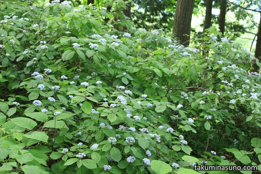 Bush of Hydrangea Hirta at Mt Otsuka