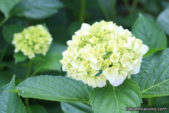 Hydrangea is to Bloom Soon in Hatagaya Fudouson Temple
