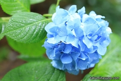 Hydrangea in the Rain Looks Beautiful in Shinjuku Central Park This Year, Too! But Don't Forget about Hypericum Monogynum!