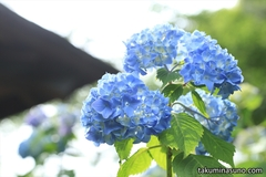Running Through Tamagawadai Park to Enjoy Hydrangea