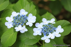 Photos of Hydrangea at Sojiji Temple in the Hot and Dry Weather