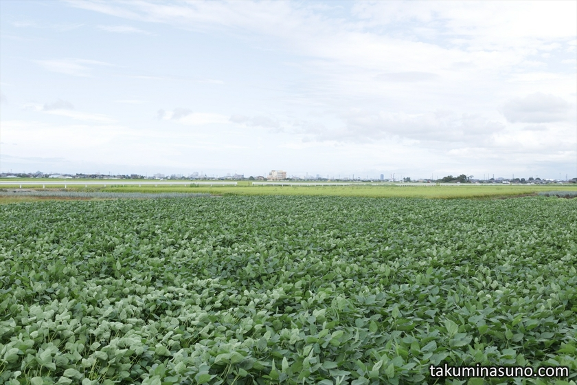 Green Soybeans of Kurosaki Town of Niigata