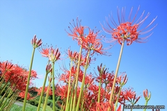 Lycoris Radiata Growing Up to the Perfectly Blue Sky - Autumn is Coming!