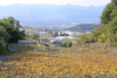 Autumn colors of Katsunuma - a Sea of Yellow Vineyards