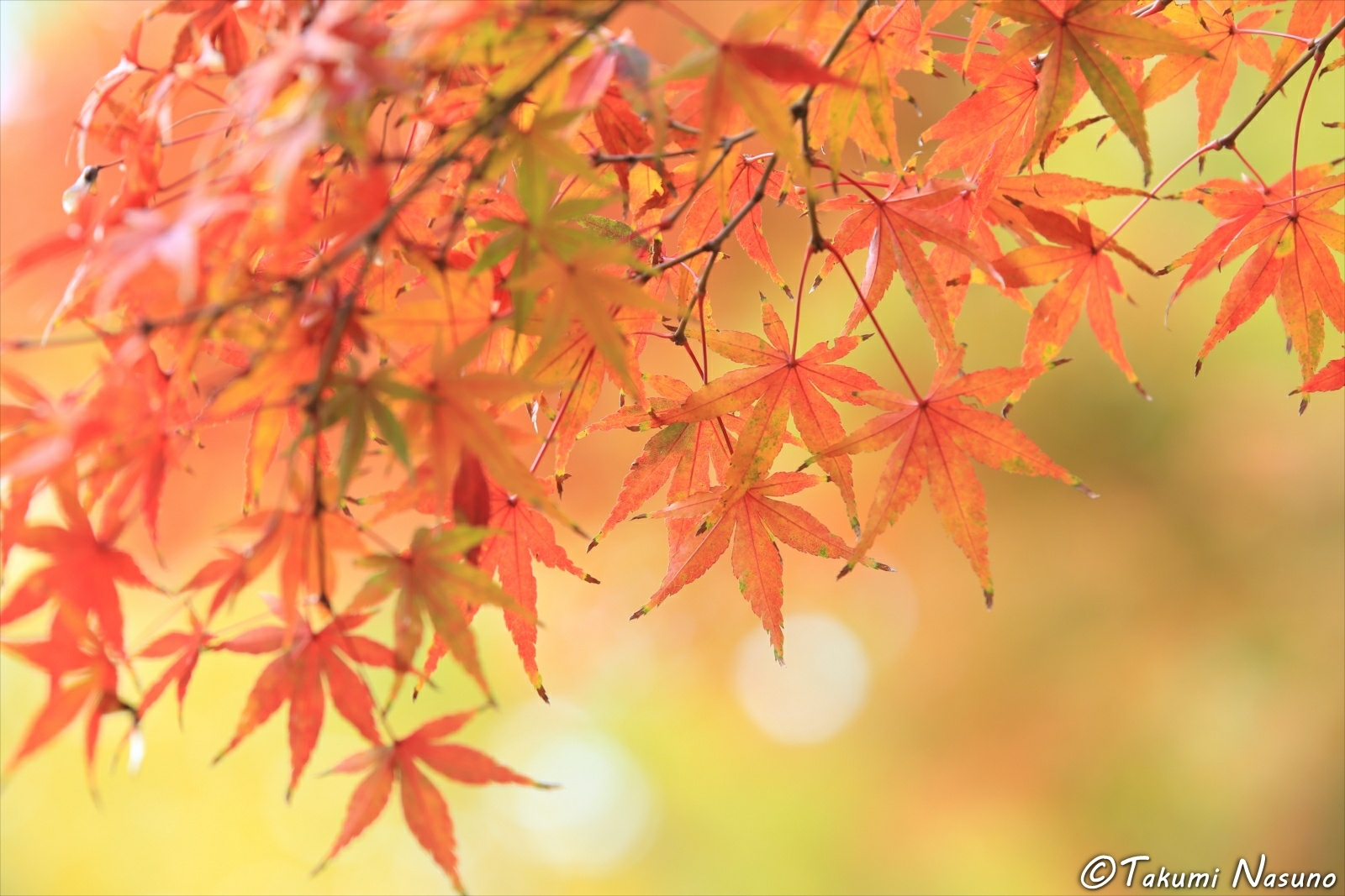 Red Japanese Maple Leaves at Sojiji Temple