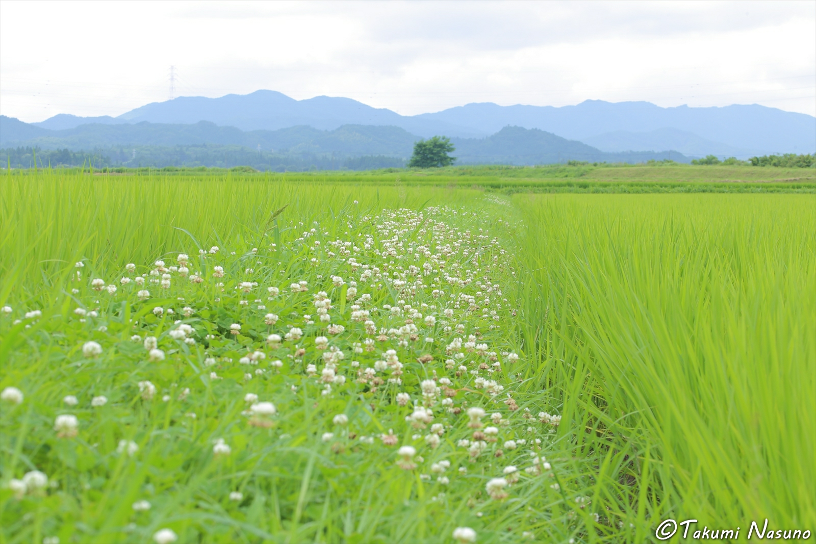 White Clover at Footpath between Paddy Fields of Tanagura Town