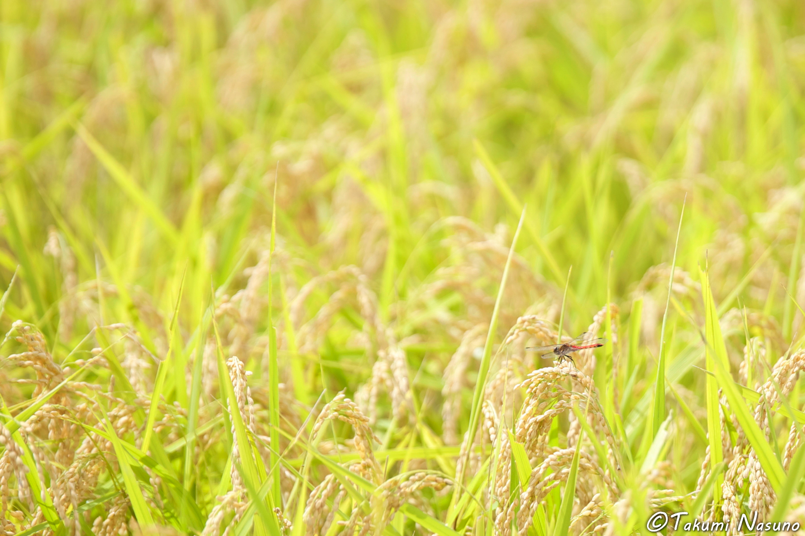 dragonfly-at-the-paddy-fields-of-yashirogawa-district-of-tanagura-town